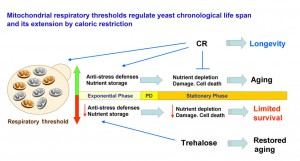 Mitochondrial respiratory thresholds regulate yeast chronological life span and its extension by caloric restriction