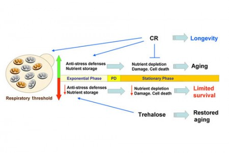 Mitochondrial physiology and biogenesis in cellular stress and aging