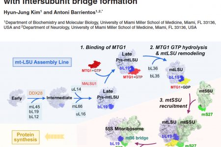 Hyun-Jung describes the function of the GTPase MTG1 in mitochondrial ribosome biogenesis